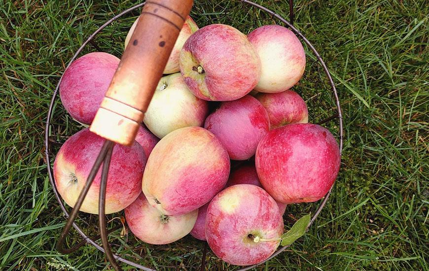 kosz jabłek z sadu